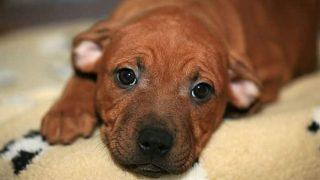 curar moquillo en perros